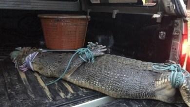 Photo of القبض على تمساح أثار الذعر 11 يوماً على شواطئ بوكيت في تايلاند