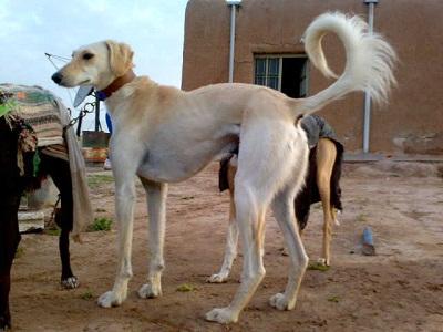 Photo of صور سلق , صور كلاب السلق , صور كلب سلوقي , خلفيات كلاب سلوقية