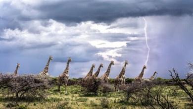 Photo of هل يصيب البرق الزرافات أكثر من غيرها من الحيوانات؟