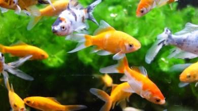 Photo of حظر مؤقت لاستيراد أسماك الزينة الحية (tilapia) من المكسيك