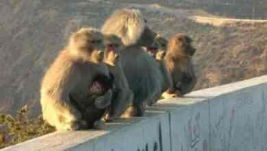 Photo of بسبب ذكائها.. 3 طرق جديدة للقضاء على القرود النازحة إلى النطاق العمراني