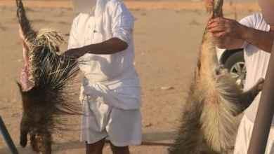 Photo of أول إجراء من الحياة الفطرية بحق قاتلي الضبع والنيص في المقطع المتداول