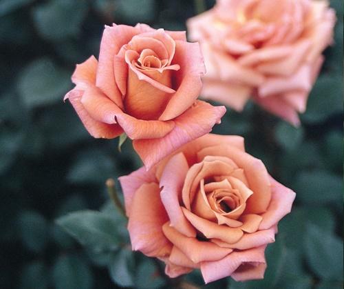 كلام جميل عن الورد خواطر عن الورد عبارات رومانسية عن الورود