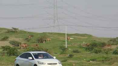 Photo of شاهد: الصحراء القاحلة تتحول إلى بساط أخضر بعد الأمطار الأخيرة في الليث