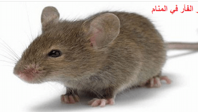 Photo of تفسير الفأر في المنام