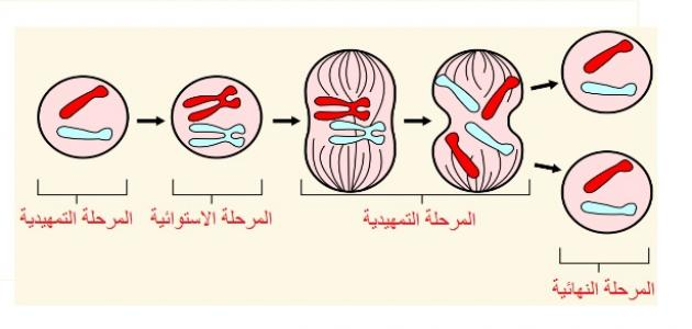 Photo of وضح المقصود بالانقسام المتساوي كيف يختلف في النباتات عنه في الحيوان