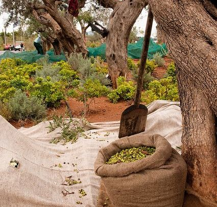 Photo of بحث عن شجرة الزيتون