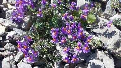 Photo of ما هي أزهار الألب ؟