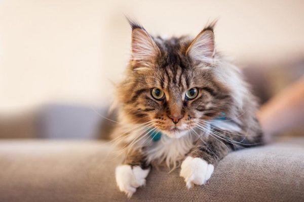 حكم تربية القطط