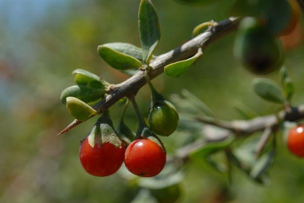 صورة شجرة العوسج
