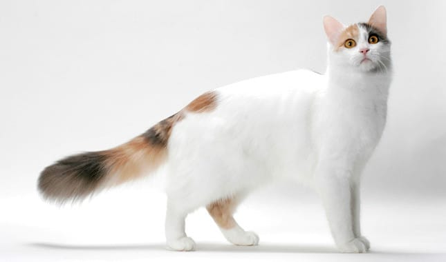 Photo of قطط الفان التركية صور ومعلومات
