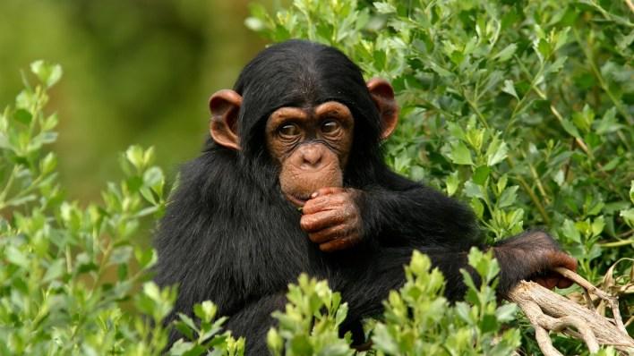 تفسير حلم القرد للحامل