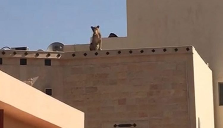 Photo of صور أسد فوق مبنى بالقرب من مدرسة في حي طويق الرياض