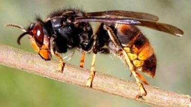 Photo of طريقة علاج لدغة الدبور