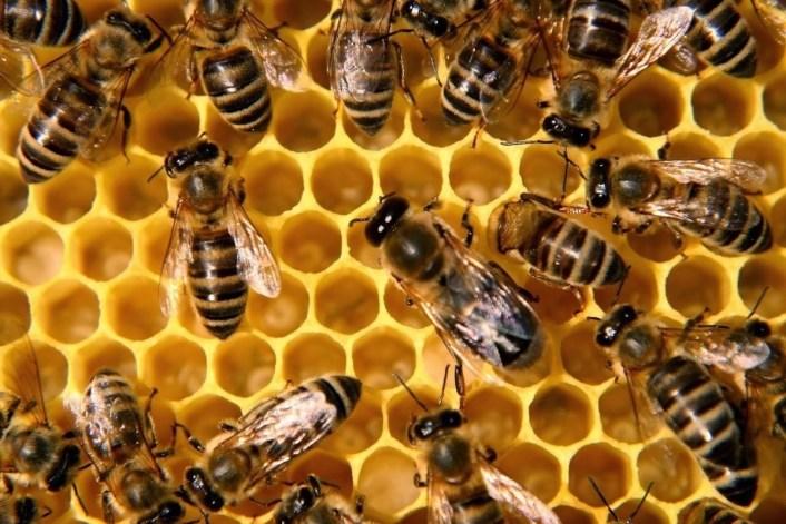 فوائد لسعة النحل للمفاصل .