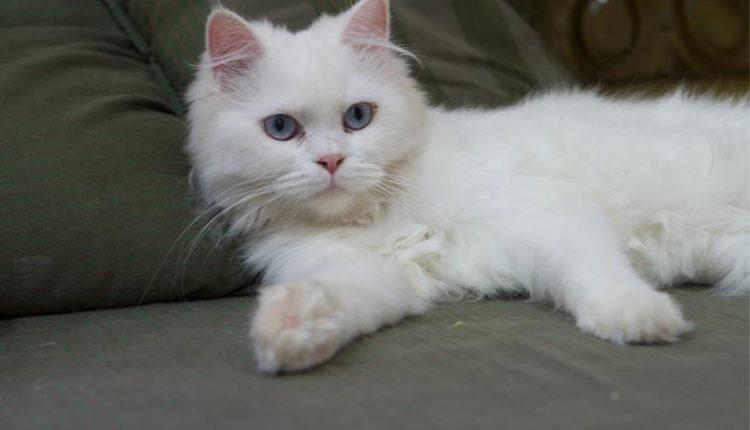 Photo of تفاصيل قضية عائلة سعودية تدفع 3 آلاف ريال تعويضاً عن قطة