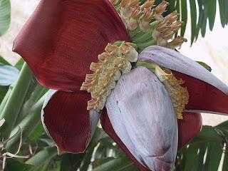 صوره زهره الموز