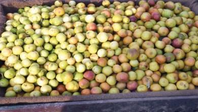 Photo of «الكنار» فاكهة الأحسائيين الشتوية