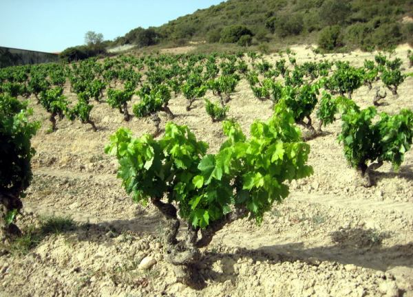 old vine Tempranillo in Rioja