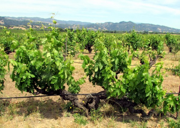 Old vines at Whitton Ranch Old Patch