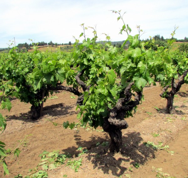 Old vines at Henderlong Ranch Vineyard