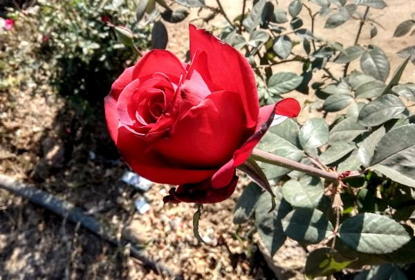 Hd Love Red Roses pic, Roses Images