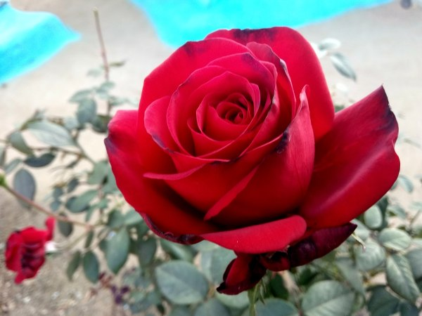 Real Hd Red Roses Image