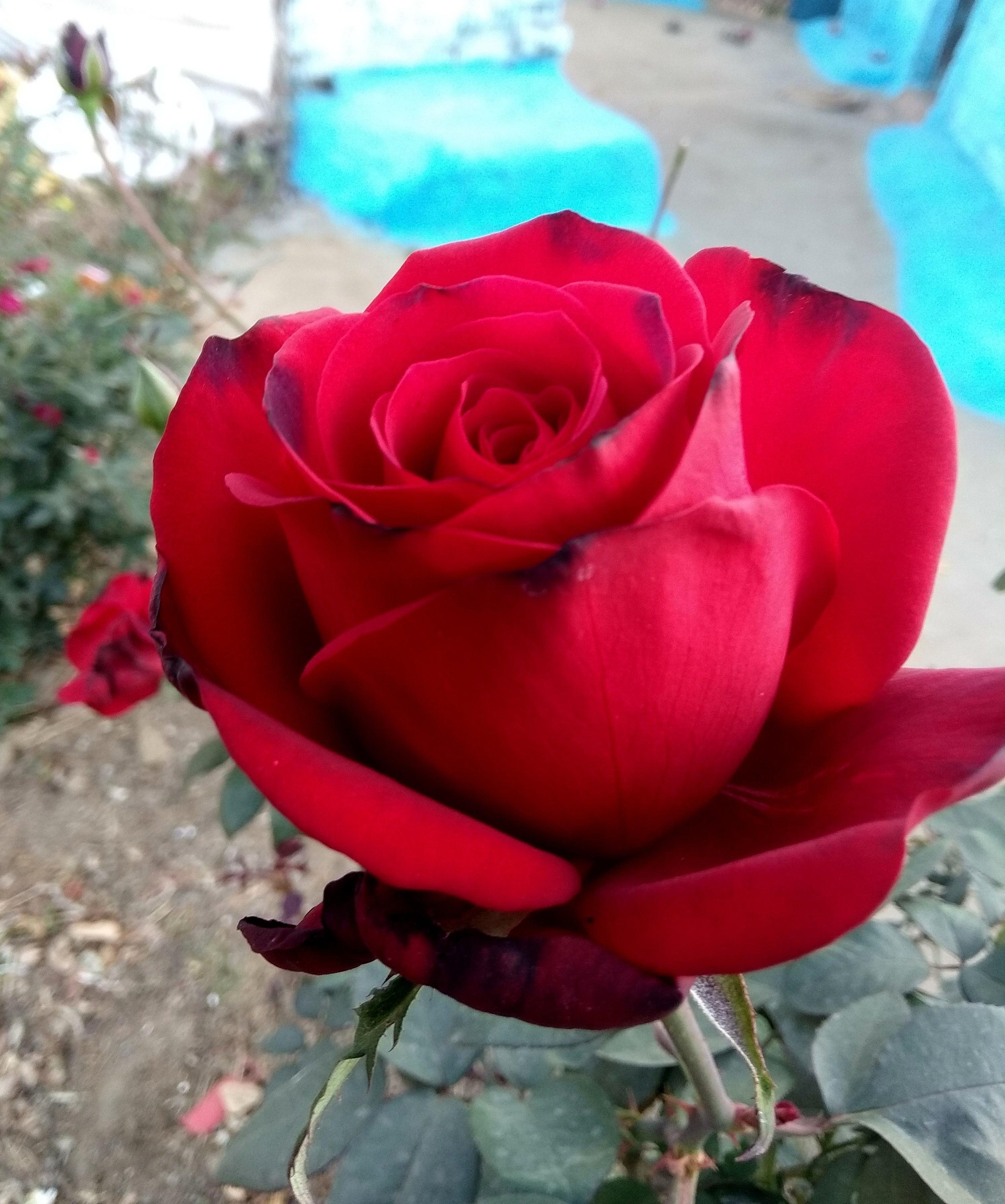 love rose hd wallpaper new red rose image hd love rose wallpaper