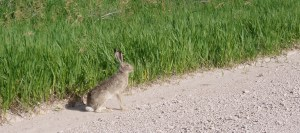 White tailed Jack Rabbit, Western Nebraska