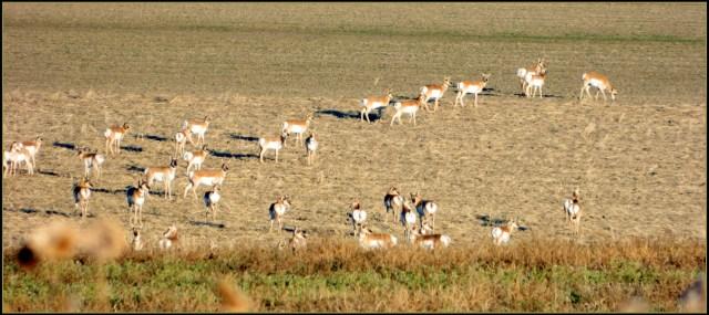 American Pronghorn in Western Nebraska