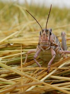 Grasshoppers aka Homesteaders on wheat straw.
