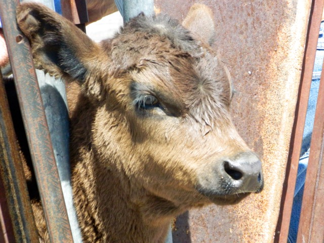 Baby calf in squeeze chute