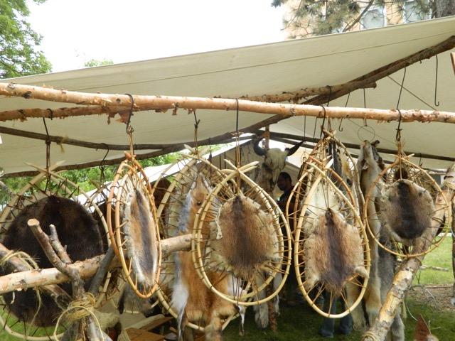 Beaver pelts stretched on fur bearer's loops