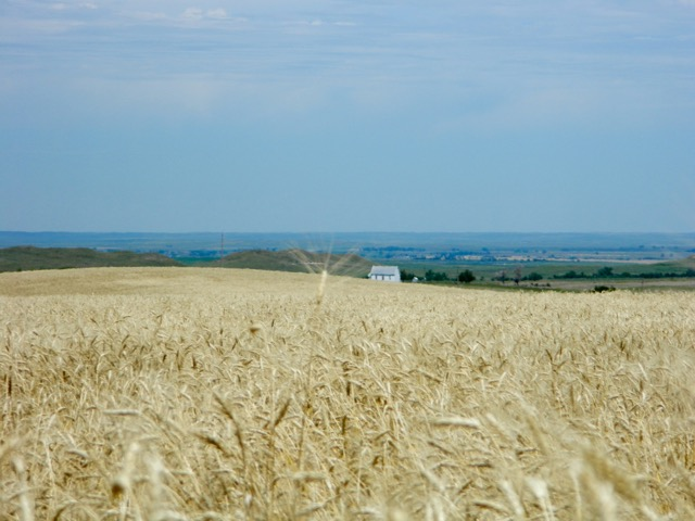 Mature wheat field ripe for the cutting.