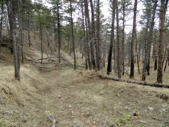 This is the view of the old postal road that wound through the forest up to residents who once lived in the East Ash Creek area and table. Tall skinny Ponderosa Pine are remaining sentry of the area.
