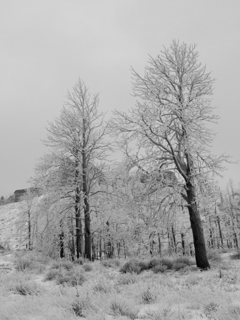 Stand of Ponderosa encrusted in ice and surrounded by snow.