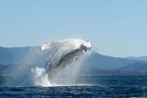 Australien breaching humpback whale