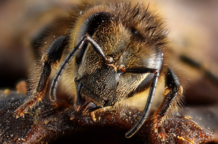 The humble honeybee: A million neurons of pure brain power.