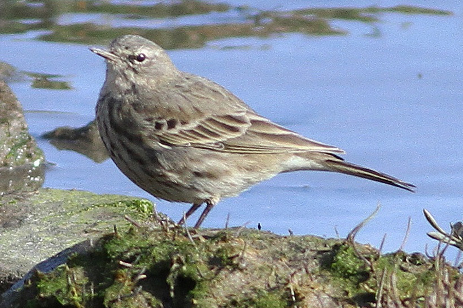 Rock Pipit (littoralis)
