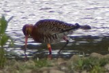 Record-breaking Black-tailed Godwit