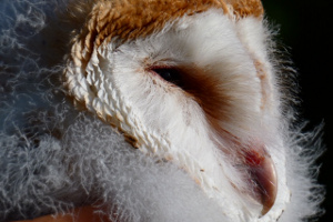 Barn Owl chick head view