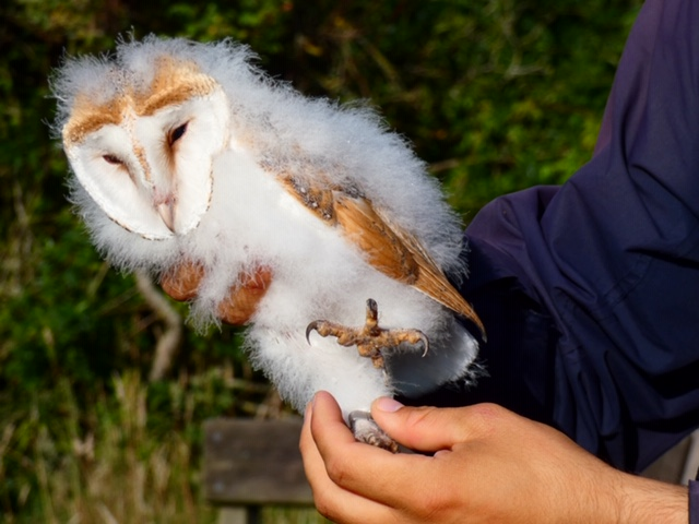 A Barn Owlet is held after ringing.