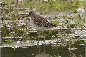 A Wood Sandpiper on the Scrape - photo by Janet Martin