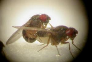 fruit-flies_6