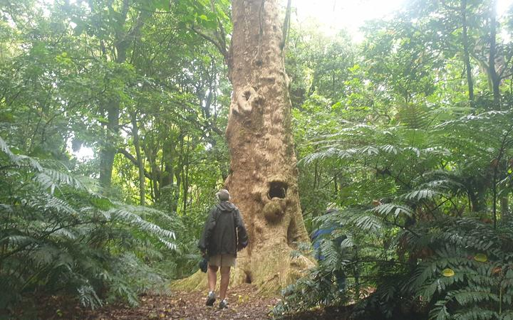 Friends of Pukekura Park president Adrienne Tatham approaches a puriri tree in Brookland Park believed to be 2000 years old.