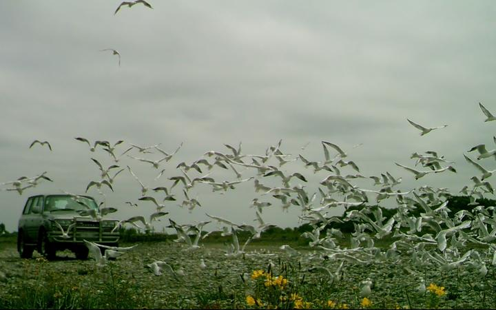 A truck driving through a gull colony in North Canterbury.