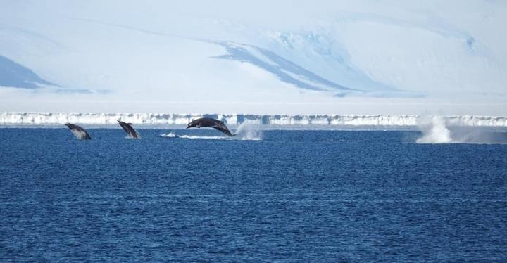 Arnoux's beaked whales photographed by the Antarctica NZ team at Scott Base.