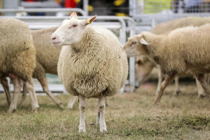 Sheep bred for milking by Mid Canterbury based Matt and Tracey Jones from Sheep Milk New Zealand.