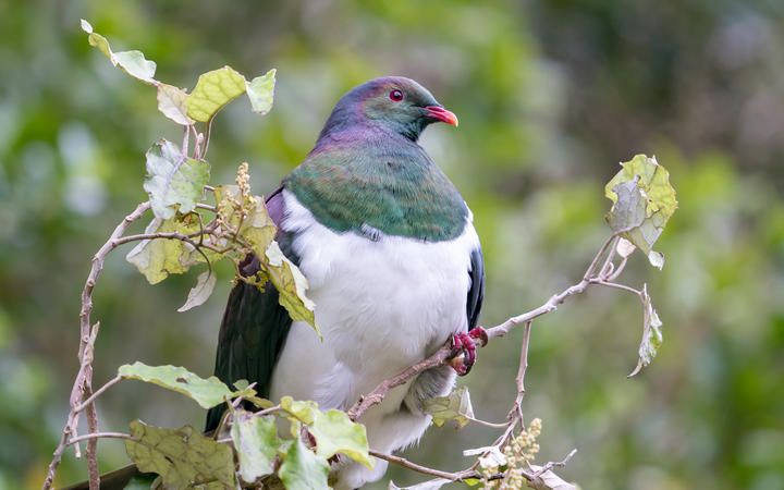 The New Zealand kererū