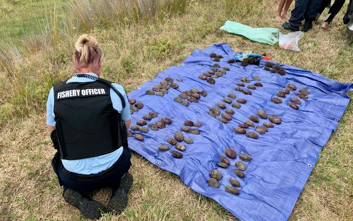 Fisheries officers with the haul of paua seized today.